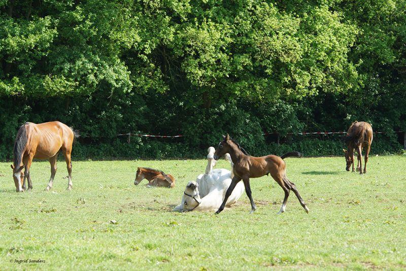 Kleurplaten Van Paarden En Veulens En Ponys.Kids Pagina Manegeopdeberg Nl